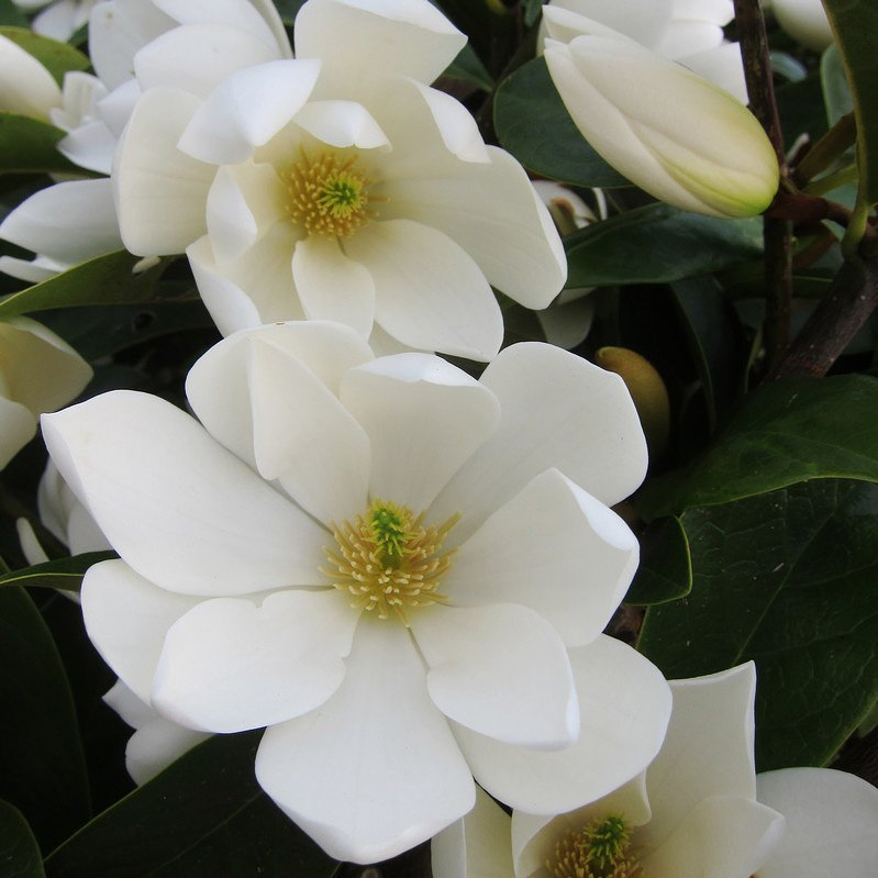 Magnolia Fairy Magnolia Series Anthony Tesselaar Plants