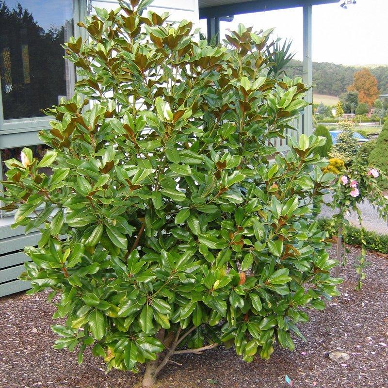 Magnolia Baby Grand Anthony Tesselaar Plants