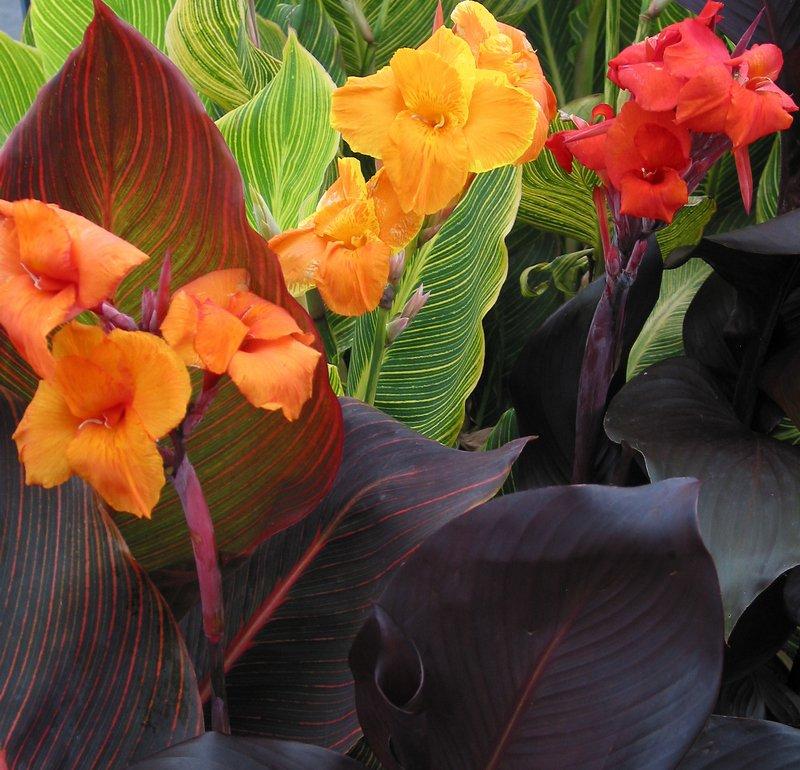 Canna Tropicanna series - Anthony Tesselaar Plants