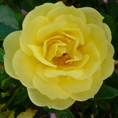 Flower Carpet Yellow Gold