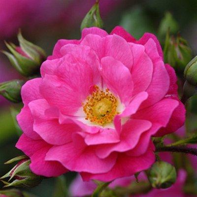 Flower Carpet Roses Rosa Flower Carpet Series Anthony Tesselaar