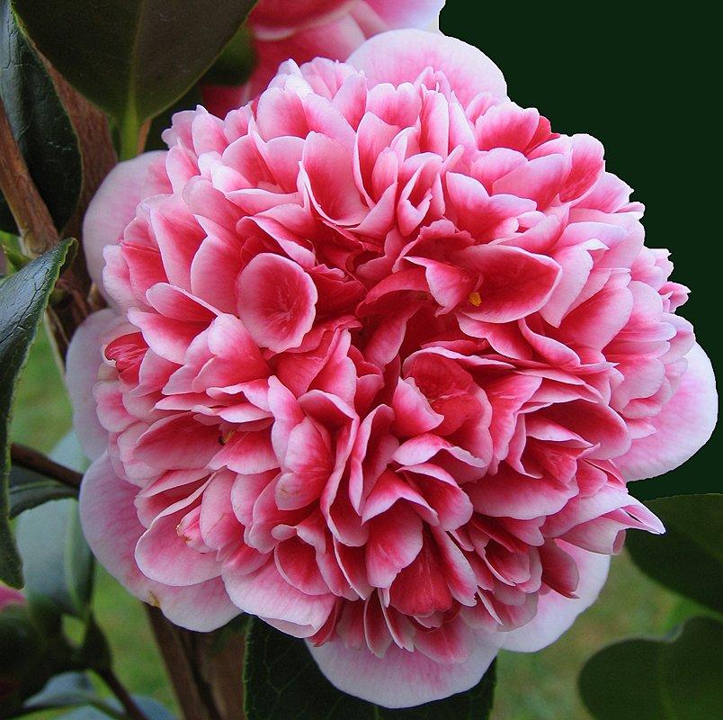 Volunteer Camellia Anthony Tesselaar Plants